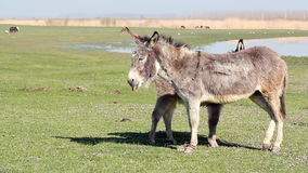 Donkey on pasture Stock Photography