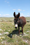 Donkey on pasture. The donkey or ass (Equus africanus asinus) is a domesticated member of the horse family Royalty Free Stock Photography