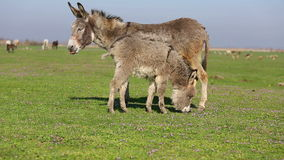 Donkey on pasture stock footage