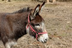 Donkey on a pasture Stock Photography
