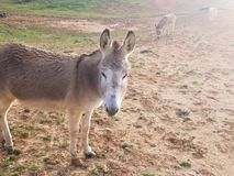 Donkey in pasture field furry cute brown stock image