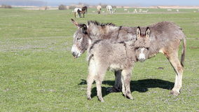 Donkey on pasture Royalty Free Stock Photo