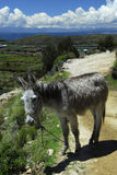 Donkey on path of Isla del Sol and Titicaca lake. Donkey on path of Isla del Sol, Titicaca lake and snow capped mountains in the background Royalty Free Stock Photos