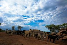 Donkey patrol in Angola. Herd of donkeys crossing the road with blue sky and clouds as backdrop stock photography