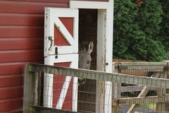 Donkey peeks around the doorway. A donkey peeks around the barn door Stock Photos