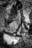 Donkey for pet therapy black and white image Royalty Free Stock Images