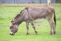 Donkey in the pet zoo. Cute Donkey in the pet zoo Stock Images