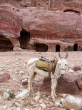 Donkey in Petra Royalty Free Stock Photography