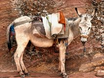 Donkey in Petra, Jordan Royalty Free Stock Photography