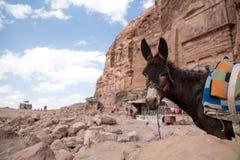 Donkey in Petra, Jordan Royalty Free Stock Photography