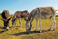 Donkey. Stock Image