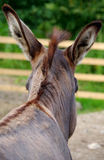 Donkey. Photographed from behind his head stock image