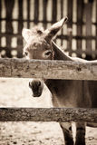 Donkey. Picture of a donkey standing Royalty Free Stock Photo