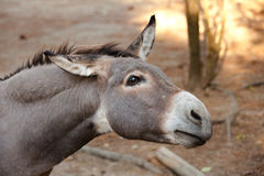 Donkey. Picture of a donkey standing Royalty Free Stock Photography