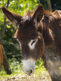 Donkey. Picture taken in the area of Asturias (Spain Stock Photography