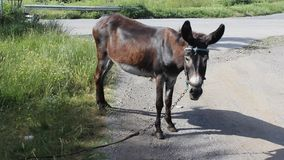 Donkey. The picture was filmed on a small farm near the town of Yambol stock video