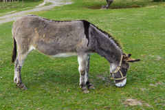 Donkey - plain, unassuming and very stubborn Royalty Free Stock Photography
