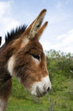 Donkey portrait Royalty Free Stock Image
