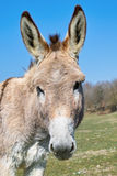Donkey, portrait Royalty Free Stock Photo
