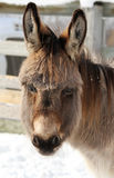 Donkey portrait Stock Images