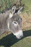 Donkey Portrait Stock Image