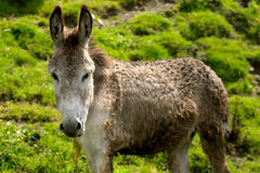 Donkey portrait Royalty Free Stock Images