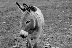 Donkey Portrait Black and White Royalty Free Stock Photography