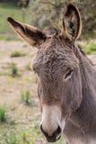 Donkey. Portrait of a donkey in Gallura, Sardinia stock photos
