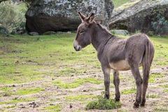 Donkey. Portrait of a donkey in Gallura, Sardinia Royalty Free Stock Image