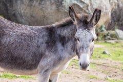 Donkey. Portrait of a donkey in Gallura, Sardinia royalty free stock images