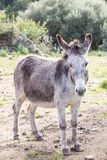 Donkey. Portrait of a donkey in Gallura, Sardinia stock photo