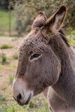 Donkey. Portrait of a donkey in Gallura, Sardinia royalty free stock photo