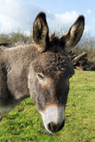 Donkey portrait Royalty Free Stock Photos