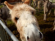 Donkey portrait Stock Photography