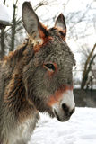 Donkey. Portrait of a donkey made ​​in winter Stock Photo