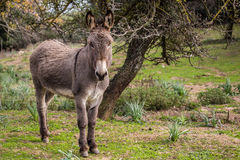Donkey. A portrait of a donkey in Sardinia Royalty Free Stock Photo