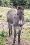 Donkey. A portrait of a donkey in Sardinia royalty free stock photography