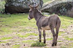 Donkey. A portrait of a donkey in Sardinia royalty free stock image