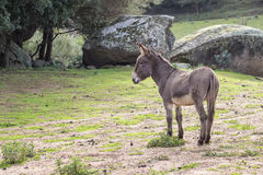Donkey. A portrait of a donkey in Sardinia Royalty Free Stock Photos