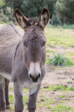 Donkey. A portrait of a donkey in Sardinia stock images