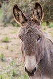 Donkey. A portrait of a donkey in Sardinia stock image