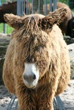 Donkey. Portrait shot of a brown donkey with a white mouth stock photos