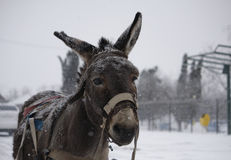 Donkey portrait Stock Photos