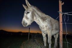 Donkey portrait at sunset Stock Photography