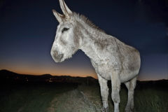Donkey portrait at sunset Royalty Free Stock Photo