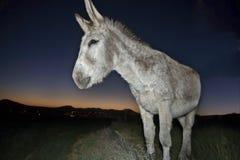 Donkey portrait at sunset Royalty Free Stock Photo