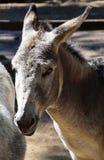 Donkey portrait Royalty Free Stock Image