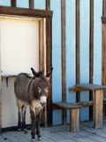 Donkey Posed Along Wall - Vertical Royalty Free Stock Photography