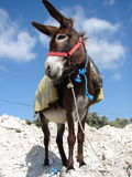 Donkey posing Royalty Free Stock Photography