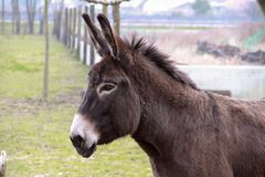 Donkey posing Royalty Free Stock Photography